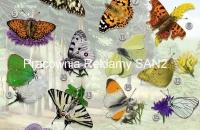 nowy plakat -motyle-mała