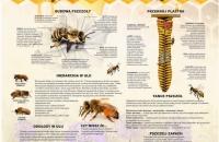 pszczoła miodna 2