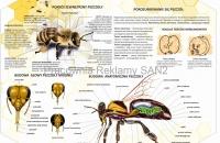 pszczoła robotnica - budowa 1